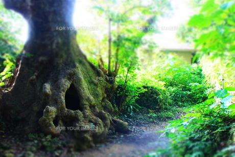 沖縄の首里にある大赤木の幹の穴(ヨコ)の素材 [FYI00243294]