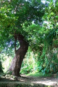 沖縄の那覇、首里にある大赤木の素材 [FYI00243295]