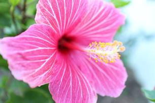 ピンクとストライプのハイビスカス(ヨコ)の写真素材 [FYI00243297]