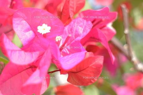 ブーゲンビレアの白い花の素材 [FYI00243299]