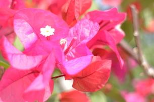 ブーゲンビレアの白い花の写真素材 [FYI00243299]