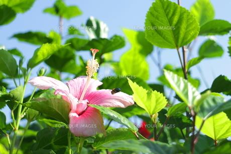 ピンクのハイビスカスと青いハチの素材 [FYI00243301]