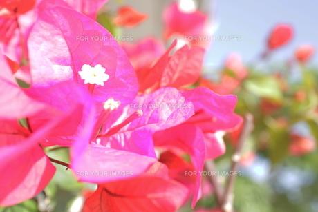 ブーゲンビレアの白い花と空の素材 [FYI00243302]