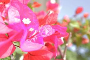 ブーゲンビレアの白い花と空の写真素材 [FYI00243302]
