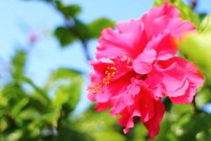花びらが多いピンクのハイビスカス(ヨコ)の素材 [FYI00243306]
