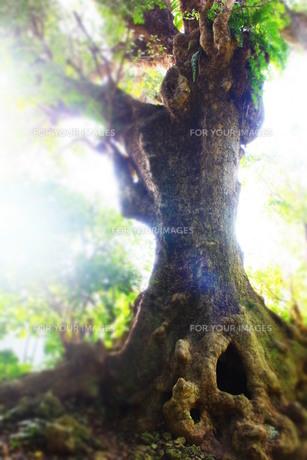 沖縄の首里にある大赤木の穴(タテ)の素材 [FYI00243312]
