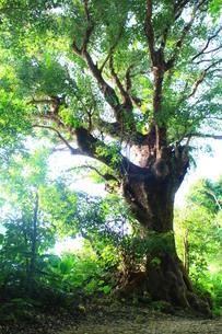 沖縄の那覇市、首里にある大赤木の素材 [FYI00243313]