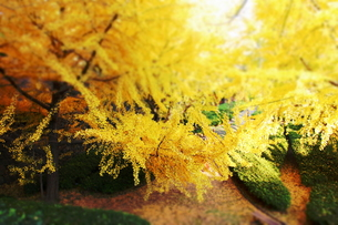 和歌山城のイチョウの木(ジオラマ)の写真素材 [FYI00243316]