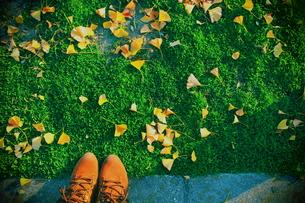 芝生に散らばる銀杏の葉の素材 [FYI00243321]