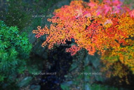紅葉渓庭園の紅葉の葉と川の素材 [FYI00243323]