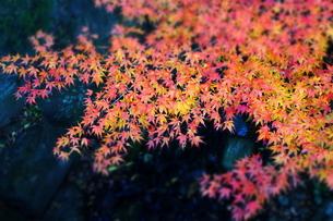 紅葉の葉のグラデーション(ジオラマ)の素材 [FYI00243326]