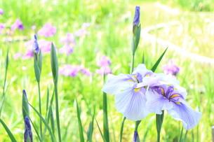 紫の花菖蒲の素材 [FYI00243327]