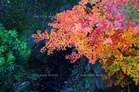 重なる紅葉のグラデーションと川。の素材 [FYI00243328]