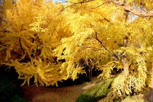 和歌山城の生い茂るイチョウの木の写真素材 [FYI00243332]