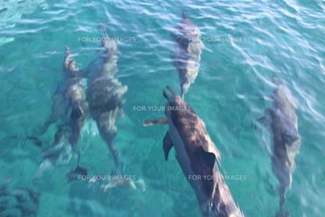 水面を泳ぐイルカの素材 [FYI00243336]