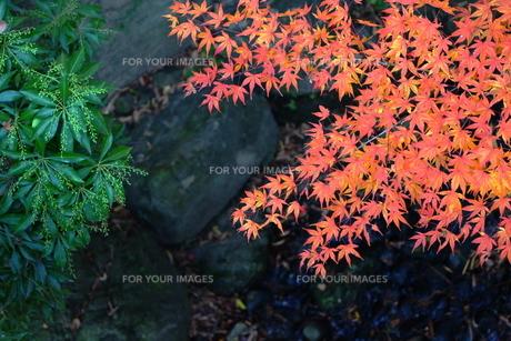 モミジの葉と緑の葉の素材 [FYI00243337]