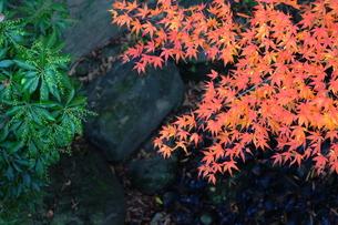 モミジの葉と緑の葉の写真素材 [FYI00243337]