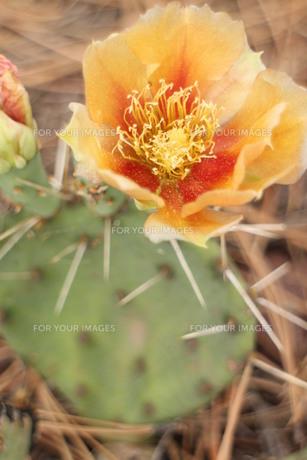 オレンジのサボテンの花の素材 [FYI00243344]