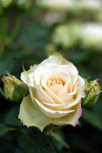 クリーム色の薔薇の写真素材 [FYI00243361]