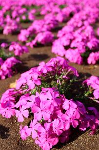 ピンクのシバザクラの写真素材 [FYI00243419]