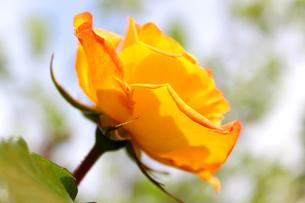 黄色いのバラの写真素材 [FYI00243427]