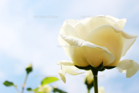 白いバラの素材 [FYI00243430]