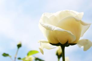 白いバラの写真素材 [FYI00243430]