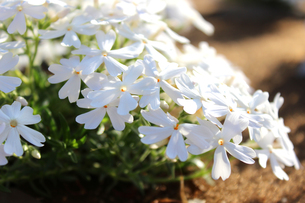 白いシバザクラの写真素材 [FYI00243437]