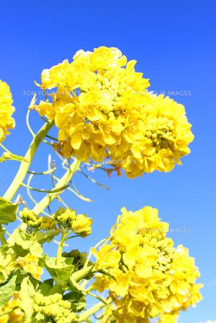 青空と菜の花の素材 [FYI00243438]