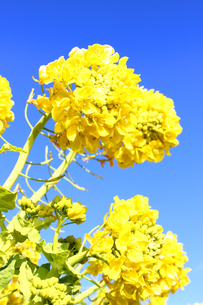 青空と菜の花の写真素材 [FYI00243438]