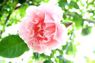 ピンクのバラの素材 [FYI00243443]