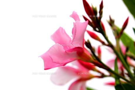 キョウチクトウの花の素材 [FYI00243446]