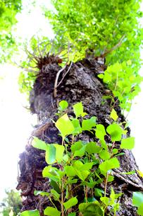 大木の写真素材 [FYI00243447]