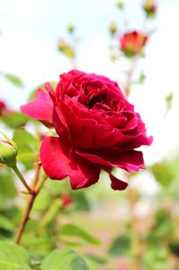深紅のバラの写真素材 [FYI00243452]