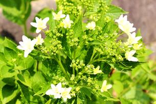 咲き始めのアジサイの写真素材 [FYI00243457]