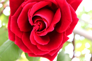 深紅のバラの写真素材 [FYI00243459]