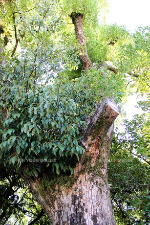 大木の素材 [FYI00243475]