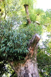 大木の写真素材 [FYI00243475]