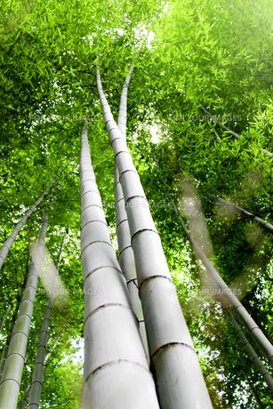 竹林の素材 [FYI00243477]