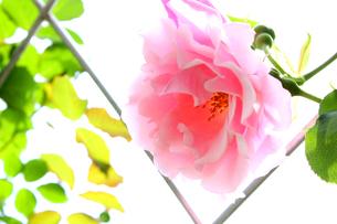 ピンクのバラの素材 [FYI00243478]