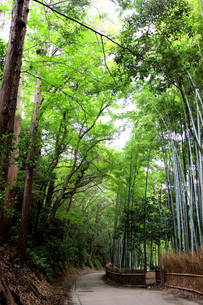嵐山の竹林の写真素材 [FYI00243491]