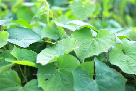 マルバルコウの葉の群生の素材 [FYI00243540]