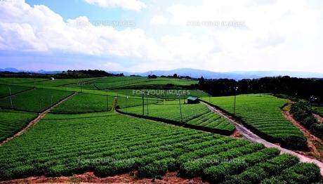 八女中央大茶園 茶畑の素材 [FYI00243625]