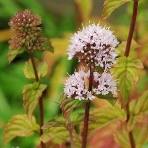 オーデコロンミントの花の写真素材 [FYI00243640]
