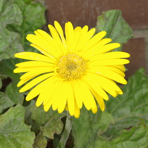 ガーベラ 黄色の写真素材 [FYI00243667]