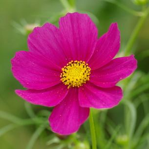 コスモス 赤紫の写真素材 [FYI00243673]