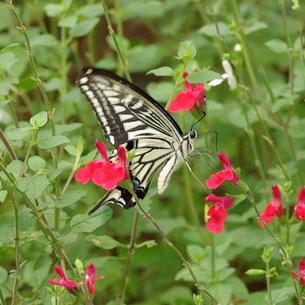 チェリーセージに揚羽蝶の写真素材 [FYI00243679]