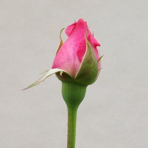 バラ ピンクの蕾の写真素材 [FYI00243689]