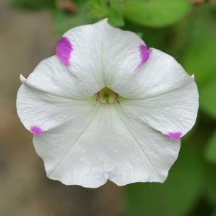 ペチュニア 白に紫の斑の写真素材 [FYI00243690]