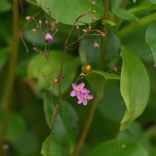 ハゼランの花と実の写真素材 [FYI00243692]